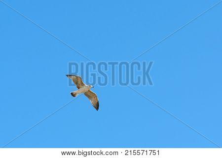 Caspian Gull In Flight In The Clear Blue Sky Larus Cachinnans
