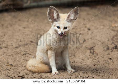Fennec fox Wildlife animal.