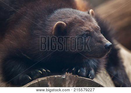 Wolverine (Gulo gulo), also known as the glutton.