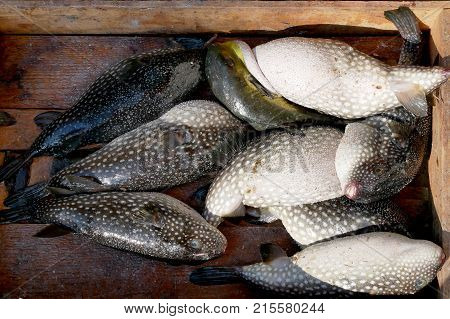 Puffer fish or blowfish sell in fish market. There is no known antidote for its poisonous liver.