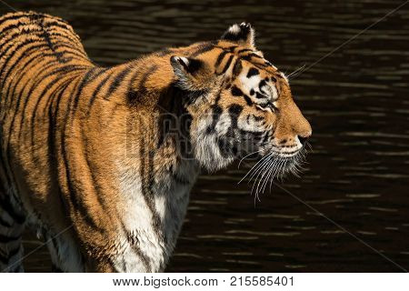 A tiger by water photographed during daytime