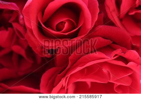 Blurred roses backdrop background. Red roses close up. Rose texture photo. Closeup.