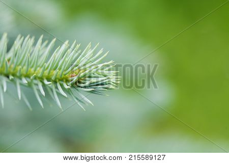 Natural evergreen spruce branch tree. Beautiful macro view needles, soft green background. copy space photo.