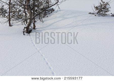 Grouse traces in the snow, showing how the bird is walking around the bushes to find something to eat in the cold, snowy environment in the mountains of Norway