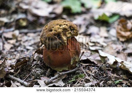 Young Satan's bolete grew in the deciduous forest (Rubroboletus satanas)