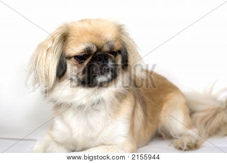 Purebred Pekingese Dog