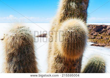 Big cactus close up on Incahuasi island salt flat Salar de Uyuni Altiplano Bolivia