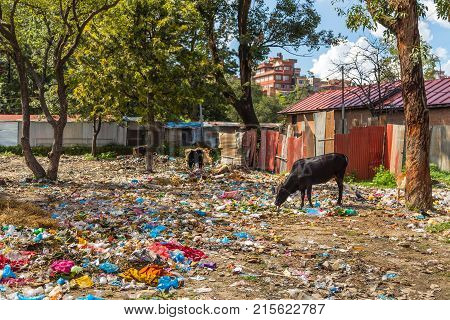 Cows grazing on a garbage damp in suberbs of Kathmandu Nepal.