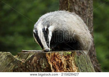 Eurasian Badger - Meles meles - on stump in autumn forest