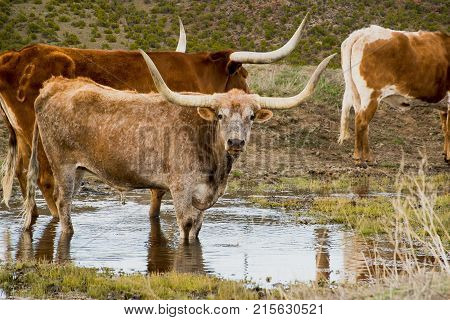 Thirsty longhorn cattle standing in water hole getting a drink poster
