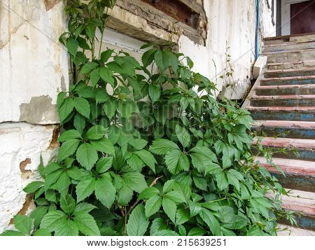 A bush of wild grapes grow on an old vintage stairs near a white ripped wall. A beautiful template on an antique theme - the contrast of young life-filled plant of the Victoria creeper and old dilapidated building