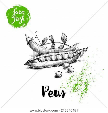 Hand drawn sketch peas with leafs. Farm fresh veggies. Vector organic food illustration isolated on white background.