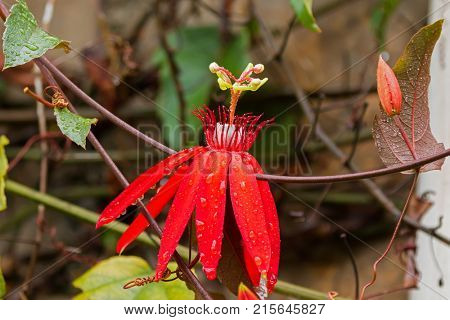 Red flower of wet Scarlet Passion (Red passion flower), vine growing in Malaysia (Passiflora coccinea)