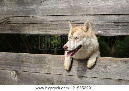 Husky or wolf at wooden background copy space. New year christmas xmas. Zoo shelter farm or captivity. Pet and animal Siberian husky dog year. Year of dog holiday celebration.