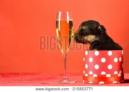 Dog Year, Pet And Animal On Red Background.