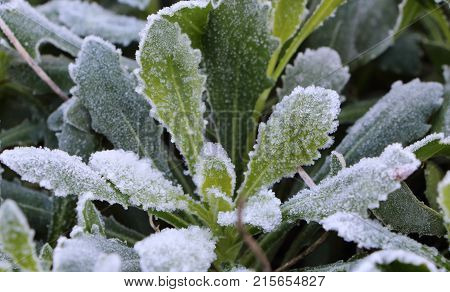 Frosted plant in a garden in the morning of a winter day