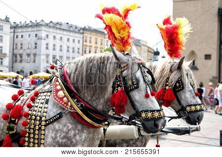Horses in harness decorated with feather pompon brass in square in krakow poland. Ride tour sightseeing travel concept