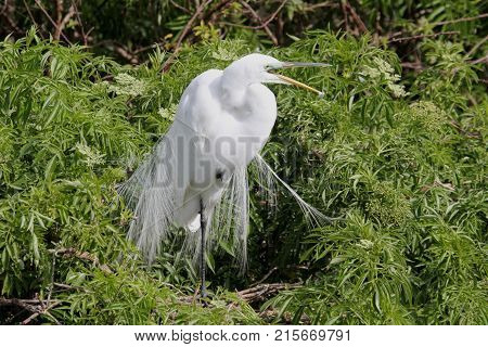Great Egret (Ardea alba) on a nest in the Florida Everglades