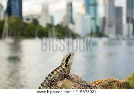 Water Dragon Outside During The Day By The Brisbane River.