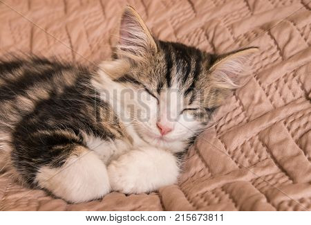 closeup of tabby cat sleeping on pale brown duvet