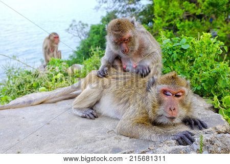 Crab eating macaque grooming each other Hua Hin Thailand