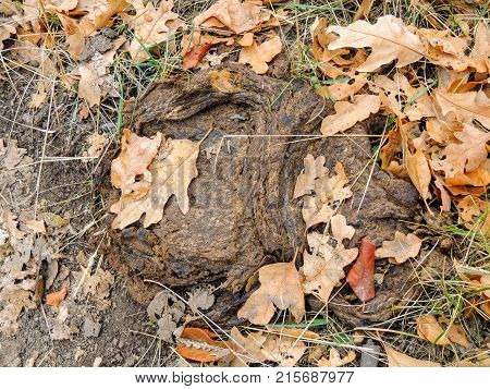 Cow dung, dry cow patty on forest floor with leaves, in fall in Oquirrh Mountains on the Wasatch Front in Salt Lake County Utah USA.