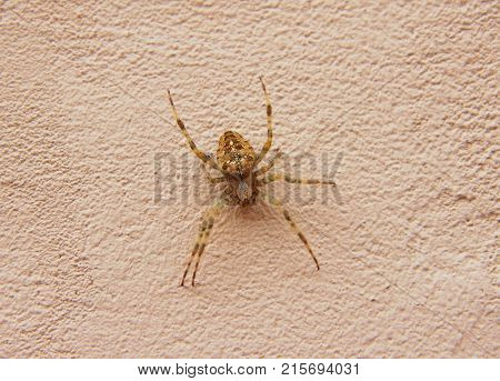 A huge house Spider on the wall
