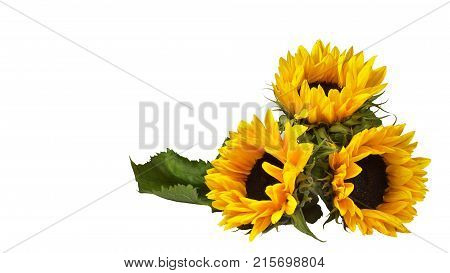 Three flowers of a decorative sunflower, lying on the surface. Isolated against a white background. Orientation on the right side of the frame. Mock up, copy space