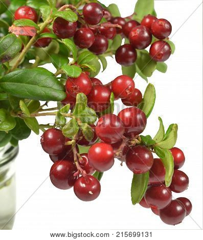Broken branches of cowberry bush with ripe juicy red berries stand in the water in a glass container. Fragment, closeup. Isolated on white background