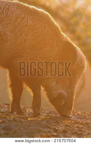closeup of large wild boar at dawn ( Sus scrofa )