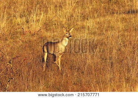 curious wild roe deer doe ( Capreolus ) in faded autumn field