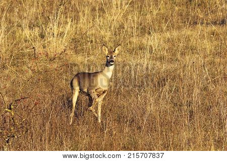 curious roe deer doe in natural habitat ( Capreolus ) autumn season image