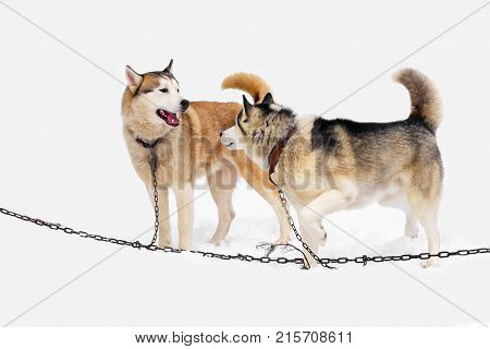 Team of Husky dogs on breather. Northern sled dogs are used as transportation. A sturdy and draft sled Husky.