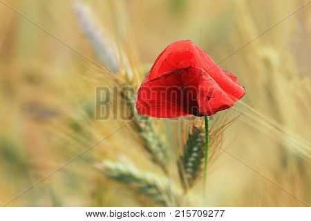 red poppy over yellow wheat field background ( Papaver rhoeas )