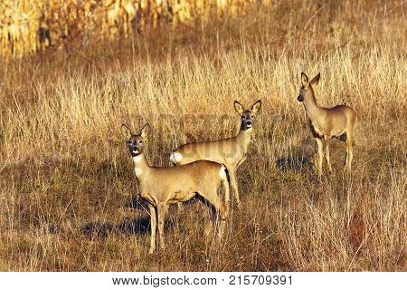 roe deer doe with youngsters ( Capreolus ) wild animals in natural habitat