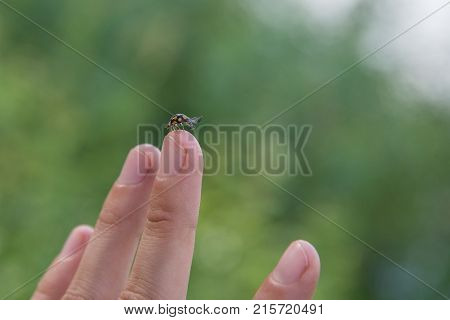 A small insect ladybug spread its wings for a flight on a person's finger in summer in nature