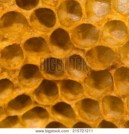 Honey bees (Apis mellifera) on honey comb in hive. Hexagonal structure within bee hive of European honey bee (Apis mellifera) in the family Apidae