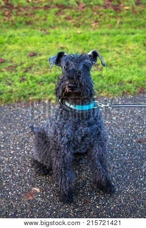 Pet dog kerry blue terrier walks in the park. The dog is sitting. Happy pet concept.