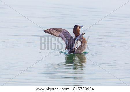 Eurasian Female Pochard Duck (aythya Ferina) With Spread Wings In Water