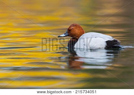 Eurasian Male Pochard Duck (aythya Ferina) Swimming Colorful Water