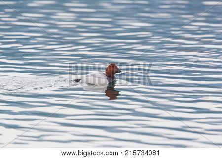 Eurasian Male Pochard Duck (aythya Ferina) Swimming In Wave Pattern