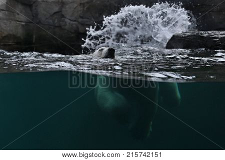 Big beautiful polar bear swimming in the ice cold water. Wonderful creature in the nature looking habitat. Endangered animals in captivity. Ursus maritimus.