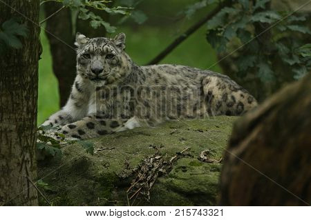 Endangered snow leopard resting in the nature habitat. Wild animals in captivity. Beautiful asian feline and carnivore. Uncia uncia.