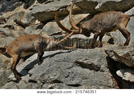 Ibex fight in the rocky mountain area. Wild animals in captivity. Two males fighting for females.