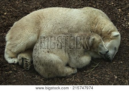 Big beautiful polar bear family sleeping together. Wonderful creature in the nature looking habitat. Endangered animals in captivity. Ursus maritimus.