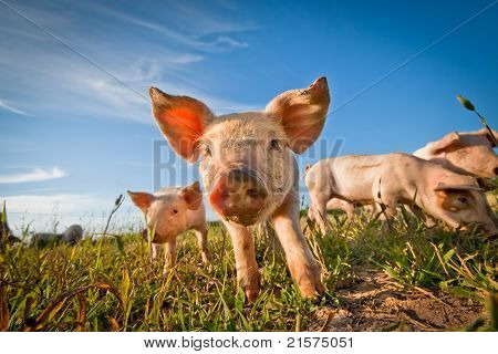 One Cute Pig Curious On The Camera