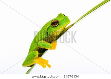 Small green tree frog sitting on grass blade