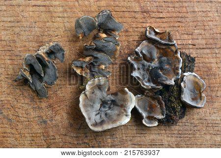 Bjerkandera adusta fungus known as the smoky polypore or smoky bracket