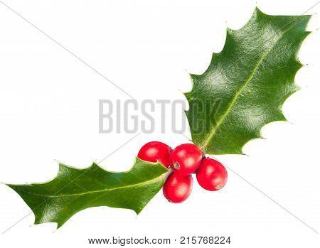 Leaves european holly ilex white background new year christmas eve