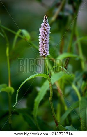 European Bistort or snakeweed Bistorta officinalis pink flowers with dark green background.